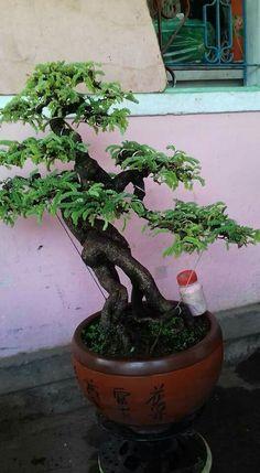 Bonsai Art, Bonsai Plants, Bonsai Garden, Bonsai Trees, Tamarindus Indica, Live Plants, Botany, Houseplants, Planter Pots
