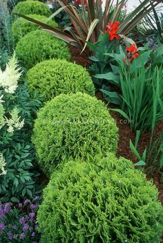 Thuja aka Thuya occidentalis Tiny Tim dwarf growing arborvitae with Astilbe and Canna and Phormium in garden use Garden Shrubs, Garden Trees, Shade Garden, Garden Plants, Topiary Plants, Arborvitae Tree, Arborvitae Landscaping, Evergreen Landscape, Trees And Shrubs