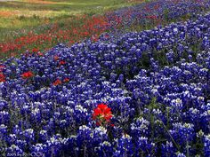 Bluebonnets and paintbrush.  Wishing we could be there with all our family in Texas.