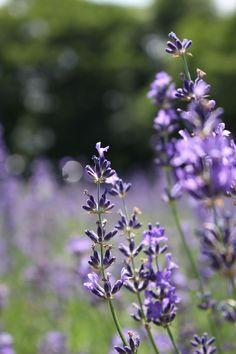 @ Lavender field