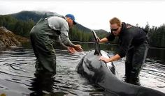 jpg Shrimpers Rescue Young Orca