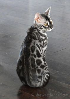 Outstanding silver charcoal bengal cat born at home! More photos of our cats an… Outstanding silver charcoal bengal cat born at home! More photos of our cats and available kittens at www. Cute Cats And Kittens, Cool Cats, Kittens Cutest, Ragdoll Kittens, Tabby Cats, Funny Kittens, Pretty Cats, Beautiful Cats, Bengal Cat Breeders