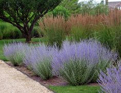 Russian sage или перовския - Home and Garden Perennial Grasses, Ornamental Grasses, Perennials, Tall Grasses, House Landscape, Landscape Design, Garden Design, Landscaping Plants, Front Yard Landscaping