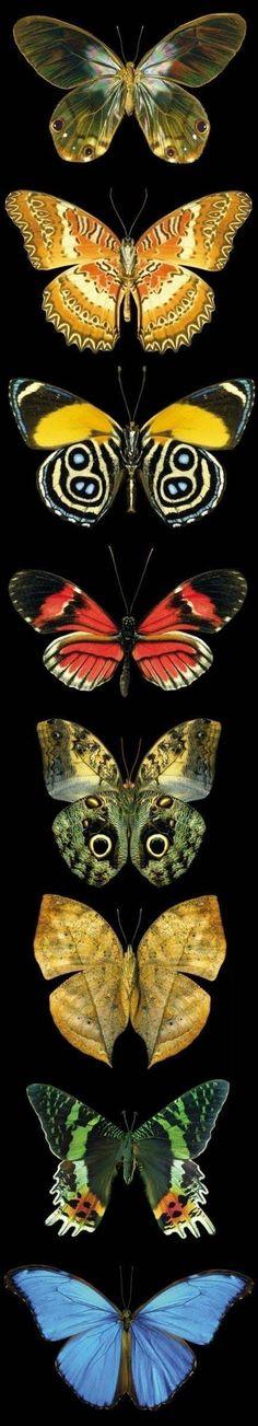 Colección de mariposas.