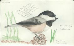 Black-Capped Chickadee - A close up of the watercolor pencil sketch.