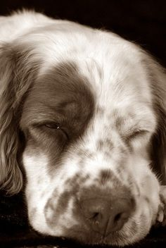 Clumber Spaniel dog art portraits, photographs, information and just plain fun. Also see how artist Kline draws his dog art from only words at drawDOGS.com #drawDOGS http://drawdogs.com/product/dog-art/clumber-spaniel-dog-portrait-by-stephen-kline/