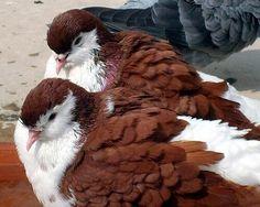 Resultado de imagem para lahore pigeon red