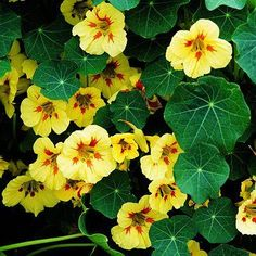 Nasturtiums attract spiders and squash/cucumber bugs on which the spiders feed