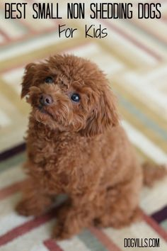 Cute Little Non-Shedding Dogs That Will Adore Your Kids: These are the Best Small Non Shedding Dogs For Kids. They are perfect for families short on space or dealing with kids or adults with allergies.