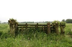 Hollands: knotwilgen, polder, landhek. Ouderwetse knotwilgen. Afgelopen winter netjes geknot. Ze lopen weer uit.