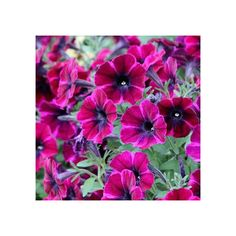 Acheter Surfinia Compact À Grande Fleur Sweetunia Johnny Flame Compact, Petunias, 27 Avril, Beautiful, Replant, Big Flowers, Lawn And Garden