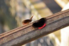 La observación de mariposas en su ambiente natural requiere de buena dosis de práctica y paciencia. Dado que las mariposas son indicadores biológicos, aprender de ellas puede ayudarnos a comprender mejor la ecología de la selva misionera y apreciar más su conservación. #mariposa #butterfly #nature