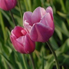 Tulipa 'May Queen'