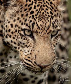 "0f0deb701 Sid Toama on Instagram: ""#leopard #southafrica #stare #canon #dailyphoto  #art #safari #bigcat #catsofinstagram #photographer #photos #daily  #amazing…"""