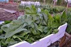 Harvest Season, Plants, Kitchen Garden, Garden
