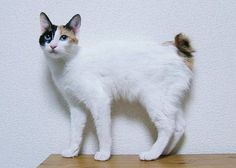 The Japanese Bobtail symbolizes good luck in his native land and is one of the oldest breeds. Check our guide and find Japanese Bobtail Kittens for Sale! Japanese Bobtail, Japanese Cat, Exotic Cat Breeds, Types Of Cats Breeds, American Bobtail, Gato Bobtail, Cool Cats, Gatos Cool, Kitty Cats