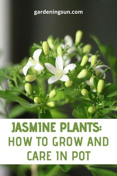 The jasmine plant is a source of exotic fragrance in warmer climates. It is an important scent noted in perfumes and has herbal properties. The plants may be vines or bushes and some are evergreen. Garden Yard Ideas, Indoor Garden, Garden Pots, Garden Landscaping, Houseplants Safe For Cats, Natural Antidepressant, Jasmine Plant, Florida Gardening, Pot Plants