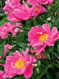 Lush pink peonies bloom for weeks. David's relaxed garden design is inspired by gardens in the European countryside, and contains a mix of plants both attractive and tasty.