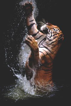 """ Tiger in Water 
