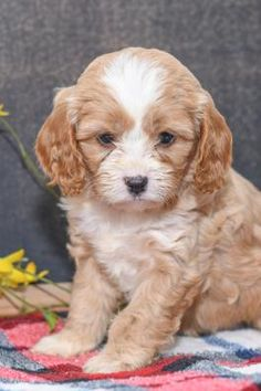 Find Cavapoo breeders through Lancaster Puppies. They offer puppies for sale in PA, Ohio and more. Cavapoo Breeders, Cavapoo Puppies For Sale, Puppys, Cute Puppies, Cute Dogs, Lancaster Puppies, My Doodle, Dog Names, Doge