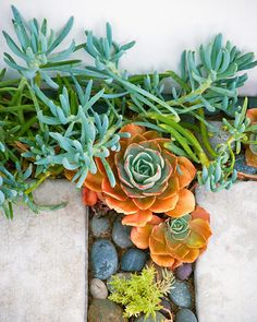 Echeveria rosettes and blue Senecio mandraliscae grow between concrete pavers in a path at a beach house in Malibu, Calif., adding tide-pool-like splashes of sea greens and ocean blues.
