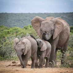 Credit : - The caravan of love Elephant Images, Elephant Love, Elephant Art, African Elephant, African Animals, Elephant Gifts, Elephant Family, All About Elephants, Elephants Never Forget
