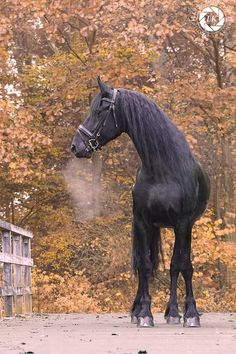 Misty horse breath on Autumn morning.