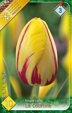 Tulipa 'La Courtine' - Egyszerű virágú tulipán Pretty Shoes, Vegetables, Vegetable Recipes, Veggies