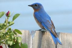 Learn how to attract bluebirds with the best food, water, shelter and nesting sites to bring eastern, western or mountain bluebirds to your yard.