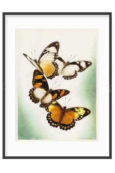 This 1950s butterfly art print would look stunning framed and hanging on a wall in your lounge, bedroom, office or hall or would also make a perfect gift for  your favourite lepidopterist. It's one of a series we are currently adding to RetroDelia along with some beautiful orchid illustrations. Click on the link to find out more. #vintage #artprints #butterfly #walldecor Vintage Wall Art, Vintage Walls, Vintage Books, Vintage Prints, Etsy Vintage, Vintage Antiques, Home Goods Decor, Butterfly Art, Beautiful Butterflies