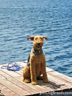 Airedale Terrier, my Airedale use to swim out to a dock at a lake in the San Bernardino mountains when I was a kid and I would swim with him , he was my best friend and we had so much fun together.oh how I miss my baby boy Welsh Terrier, Airedale Terrier, Fox Terrier, Terriers, I Love Dogs, Cute Dogs, Terrier Dog Breeds, Beautiful Dogs, Dog Life