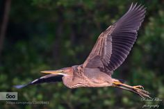 Purple Heron by Roland-F. Please Like http://fb.me/go4photos and Follow @go4fotos Thank You. :-)