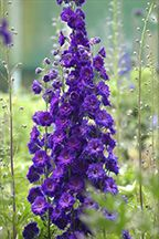 Delphinium New Millenium Hybrids - Pagan Purples