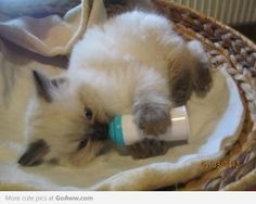 Super Cute Baby Cat Drinking Bottle Wallpaper 167 Best Some Cute Photos Kittens Or Cats Images Kittens