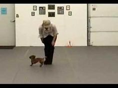 This Dachshund Has Moves Like Jagger - Wiener Dog Daily I'm so gonna be single forever. I love my dachshund more than anything! Now I never need a human dance partner! Dachshund Puppies, Weenie Dogs, Dachshund Love, Dogs And Puppies, Daschund, Funny Dog Videos, Funny Dogs, Funny Animals, Cute Animals