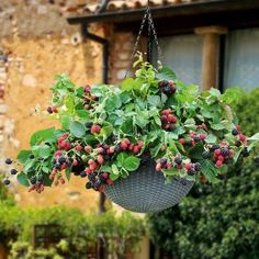 Leckere Brombeeren vom Balkon naschen! Ganz einfach möglich mit der Hänge-Brombeere 'Black Cascade'. Gefunden auf www.tom-garten.de