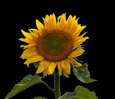 Sunflower by Duane Klipping on 500px