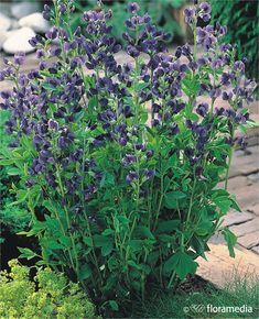 Baptysja błękitna - Baptisia australis Szkółka Przytok Rośliny Ozdobne i Owocowe