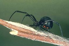 Black Widow Spider has Toxic bite which is potentially fatal. Seek medical attention if bitten. Common Spiders, Types Of Spiders, Spider Traps, Spider Mites, Spider Identification, Hobo Spider, Poisonous Animals, A Bug's Life, Wild Life
