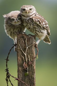 ♥ ~ ♥ Owl ♥ ~ ♥ Mothers Love - Little Owls The Animals, Beautiful Owl, Animals Beautiful, Owl Bird, Pet Birds, Owl Cat, Owl Always Love You, Wise Owl, Mundo Animal