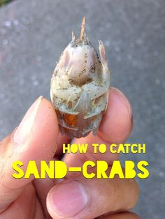 TIPS ON HOW TO CATCH SAND CRABS/SAND FLEAS  - Surf Fishing - YouTube