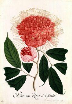 Brownea. Proyecto de digitalización de los dibujos de la Real Expedición Botánica del Nuevo Reino de Granada (1783-1816), dirigida por José Celestino Mutis: www.rjb.csic.es/icones/mutis. Real Jardín Botánico-CSIC.