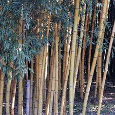Phyllostachys viridis Sulphurea - Bambou