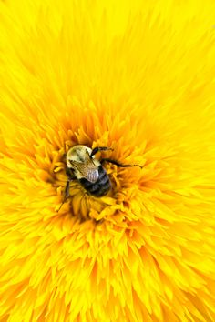 Bee comfy | ©2014 alan shapiro alanshapirophotography.com | By: alan shapiro photography | Flickr - Photo Sharing!