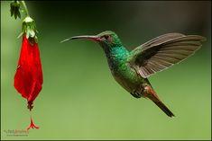 Las 100 especies mas hermosas de aves del Quindio
