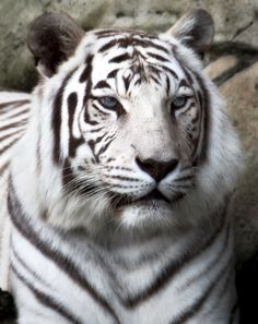 White tiger at Audubon Zoo in New Orleans Wild Animals Pictures, Like Animals, Animals Images, Animals And Pets, Animal Pictures, Most Beautiful Animals, Beautiful Cats, Beautiful Creatures, Audubon Zoo