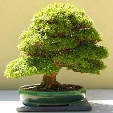 Znalezione obrazy dla zapytania satsuki bonsai