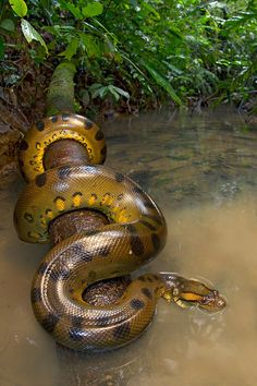 Anaconda ,snake.SOUTH AMERICAN WILDLIFE