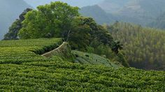 und die helleren Felder sind Xiang Tee