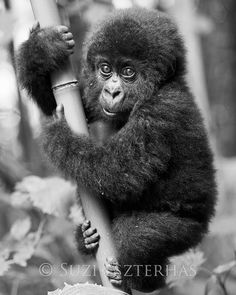 CUTE BABY GORILLA Photo, Black & White Print - Baby Animal Photograph, African Wildlife Photography,